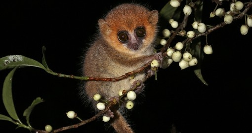 Brown Mouse Lemur