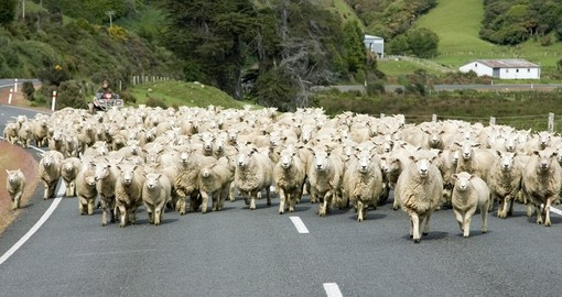 You might get stuck in a local traffic jam on your Trip New Zealand
