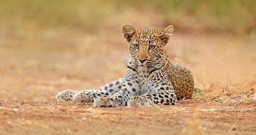 Young leopard in Hwange National Park