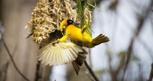 Weaver bird building a nest is a photo opportunity during a Lake Mburo National Park Safaris.