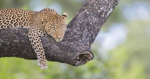 The Big 5, including the Leopard are part of your Zambia Safari