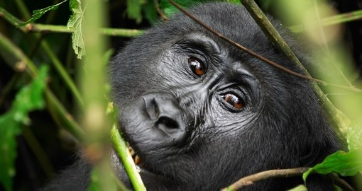 Get up close to rare Mountain Gorillas on your Rwanda Safari