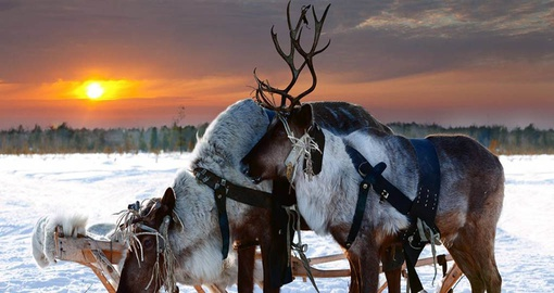 Experience real Reindeers on your next trip to Sweden.