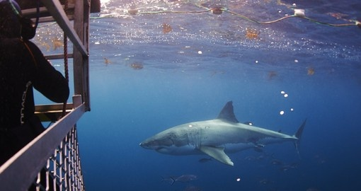 Swim with Great Whites during your Australia trip!