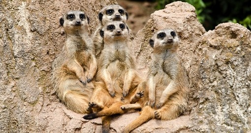 Meet Meerkats during your next Namibia vacations.