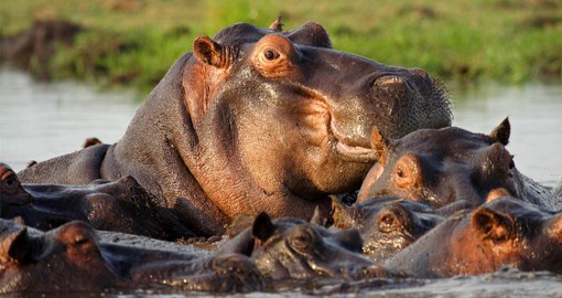 The semi-aquatic Hippo is found in large numbers along the Chobe River