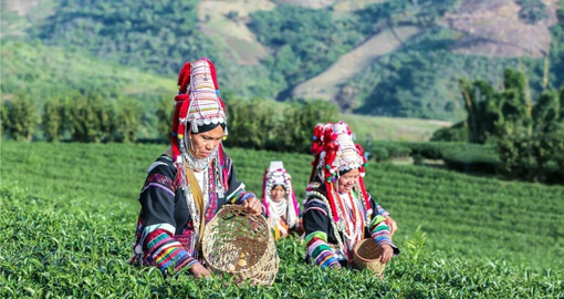 Akha tribe picking tea leaves