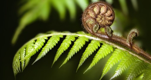 The iconic fern Koru of New Zealand