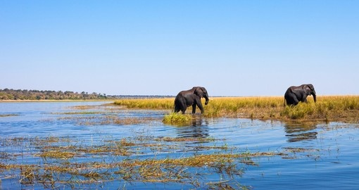 Elephants walking out of the river Chobe