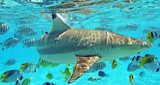 Discover the sharks and rays in Bora Bora on your next Tahiti vacations.