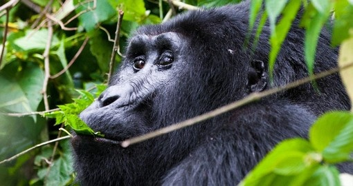 One of the worlds most endangered animals - the mountain gorilla