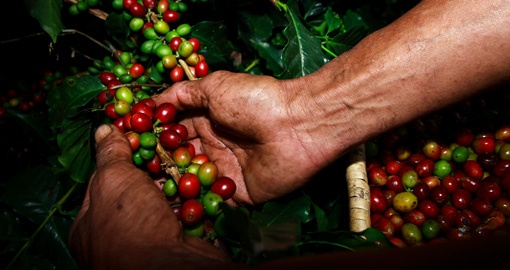 Experience Coffee Harvesting on your trip to Colombia