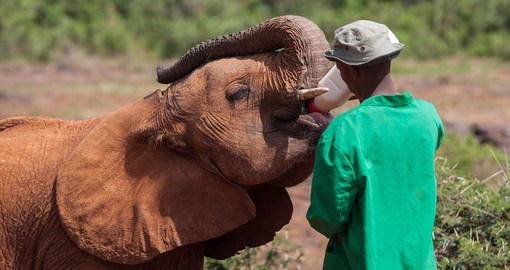 Daphne Sheldrick operates the most successful orphan elephant rescue and rehabilitation program in the world
