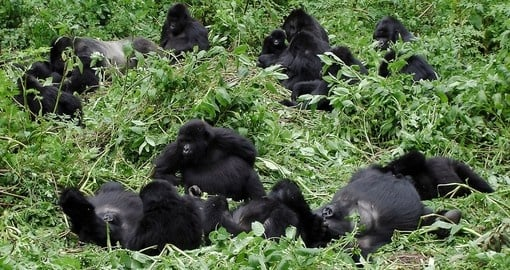 Observe whole familes of Gorillas on your Rwanda Safari