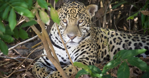Experience this amazing wild cat on your next Brazil vacations.