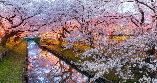 During the the blooming season, the Japanese people attend festivals and engage in hanami, or picnics beneath the cherry trees