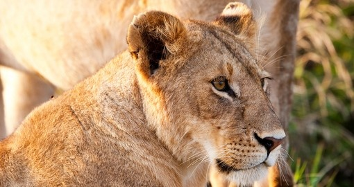 African lioness in the Maasai Mara National Park