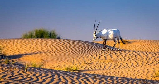 See the native wildlife on your dune safari in Dubai
