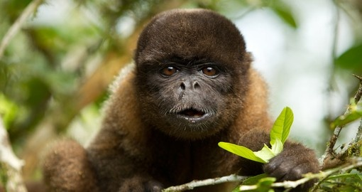 Chorongo Monkies– are a popular photo opportunity while on Ecuador tours