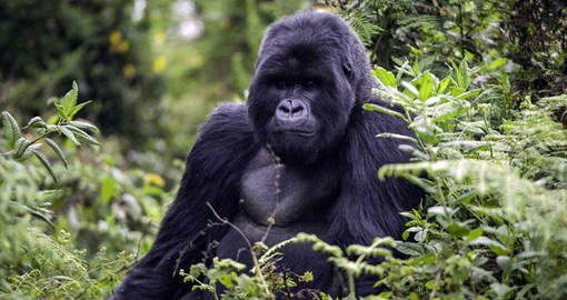 Nearly half of the world's remaining mountain gorillas live in the Virunga Mountains of central Africa