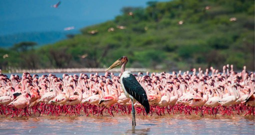 Lake Nakuru is one of the Rift Valley soda lakes, attracts a vast quantities of Flamingos is a highlight of your Kenya safari