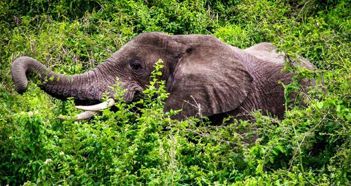 Uganda's elephant population has increased from 700 in 1980 to over 5,000
