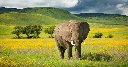 Ngorongoro is said to have the highest density of wildlife in Africa