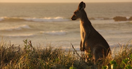 Kangaroo grassing through the dunes