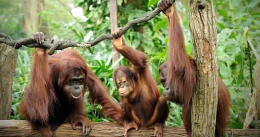Orangutans in the Singapore Zoo