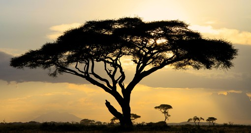 Large Acacia tree at sunset in African National Park