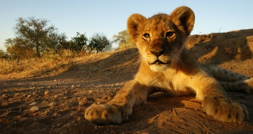 Close up photo of a lion cub in Kruger National Park