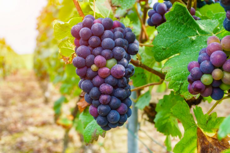 Grapes in champagne region during autumn harvest, Reims