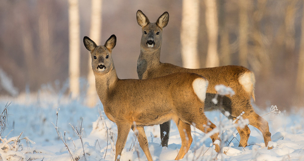 Roe Deer in Lithuania